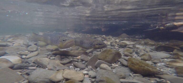 Unterwasseraufnahmen: Laichspiel der Bachforelle im Laabenbach – Mit Video!